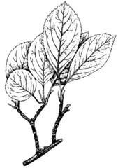 Branch of Plant Malus sieversii (Wild apple)