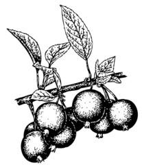Branch of Malus prunifolia