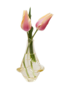 Two tulips in a glass vase