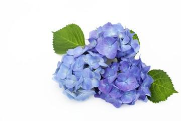 Zelfklevend Fotobehang Hydrangea ブルーのアジサイ