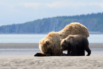 Mother Grizzly Bear with cub feeding on clamps