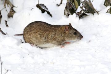 Fotoväggar - Brown rat, Rattus norvegicus