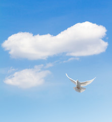 Wall Mural - White dove flying in the sky.