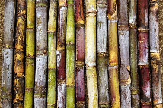 Différentes variétés de canne à sucre réunionnaises