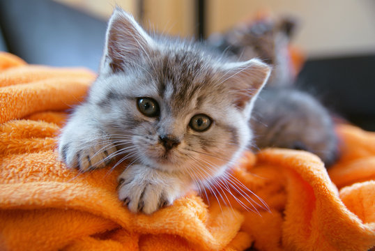 Little grey cat lying on an orange blanket on the couch