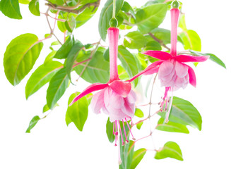 flower of a fuchsia of an unusual form are isolated