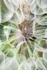 Fotorolgordijn Paardebloemen en water Gigantic dandelion flowers parachutes