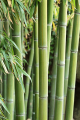 Forest of bamboo
