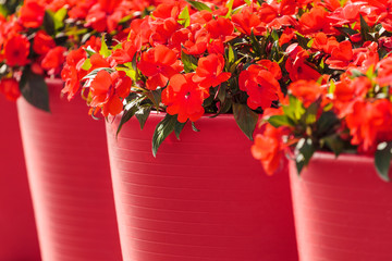Red viola flowers in large red flower pots
