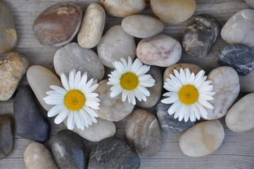 Acrylic Prints Daisies Flowers in stones background