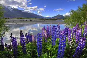 Papiers peints Nouvelle Zélande Lupines on the shore of the river in New Zealand