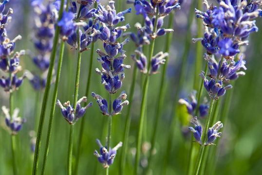 Lavender flower (Lavandula x intermedia)