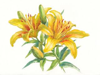 Жёлтые лилии на белом фоне, акварель.