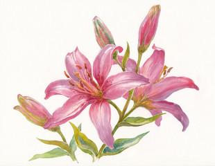 Розовая лилия на белом фоне, акварель.