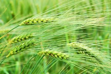 Detail of barley field in springtime