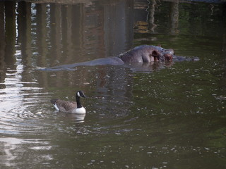 Hippo and Goose