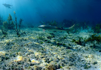 Wall Mural - Caribbean reef shark underwater