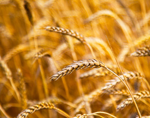 cultivation of different varieties of wheat, wheat field