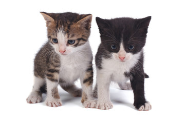 two small kitten isolated on white background