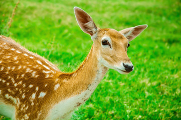An isolated Axis deer
