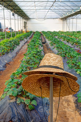 Straw hats of fruit gardener in strawberry farm
