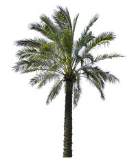 Green palm tree isolated on white