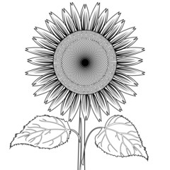 sunflower with leaves out line vector
