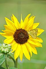Sunflower & Butterfly