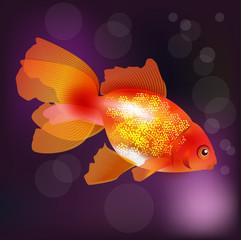 Beautiful golden aquarium fish.