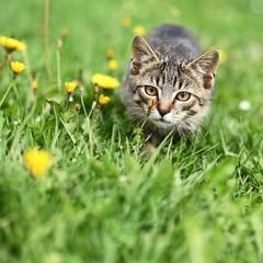 Kitty lurking in grass