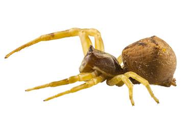 goldenrod crab spider species Misumena vatia