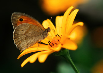 Butterfly drinking nectar from a yellow flower
