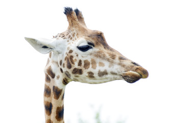Giraffe closeup