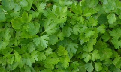 Young parsley leaves