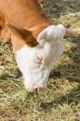 cow eating hay
