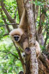 Gibbon in Chiangmai Zoo , Thailand