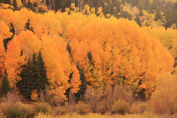 Fototapete - Aspen forest in a fall, Colorado