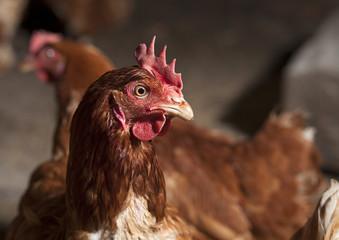 chicken looks