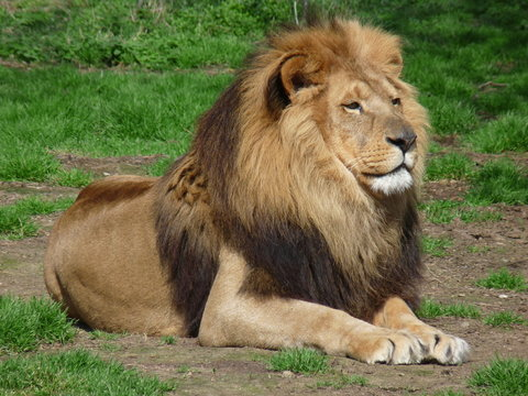 a proud lion sitting in the grass, close-up