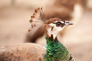 Peacock close-up portrait. Macro.