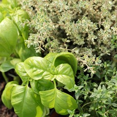 Close-up of basil, thyme and oregano in the garden.