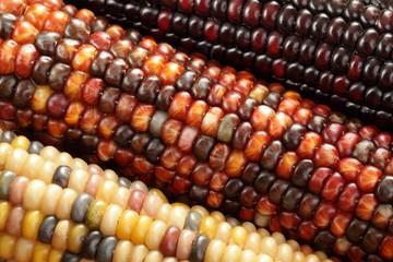 Indian corn close-up