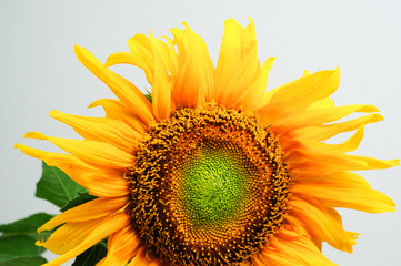beautiful sunflower isolated on gray background