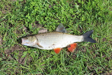 Beautiful caught chub
