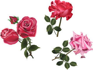 three pink and red rose flowers isolated on white
