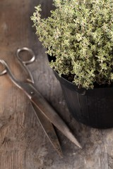 Close-up of thyme in flower pot and scissors
