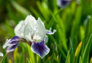 One beautiful iris in a garden
