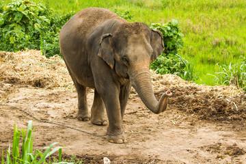 Thai elephant chiangmai Thailand
