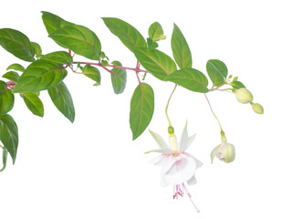 white  fuchsia branch isolated on white, Frank Unsworth