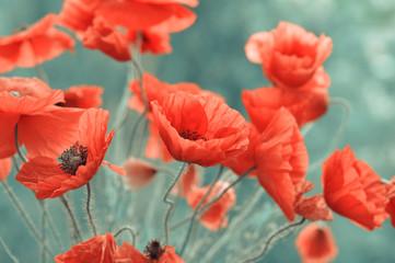 Fototapeta red poppy flowers obraz
